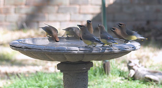 Group Of Waxwings View 2