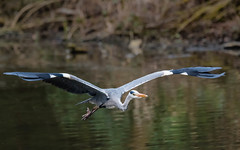 Taking Flight (Phil Woolley) Tags: heron juvenileheron blueheron flight water lake winter stovercountrypark devon newtonabbot uk naturepark