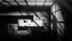 I Could Have Sworn I Saw a Light Coming On (Gianmario Masala [inworld]) Tags: photoshop blur blurry mono monochrome gianmariomasala blackandwhite highandlowkey shadows photograph indoor north pool grain birds tiles architecture motion doves textured texture