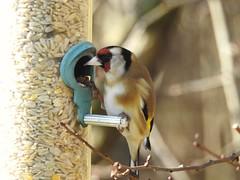 Dinner is served (Simply Sharon !) Tags: goldfinch bird finch wildlife britishwildlife nature rspb rspboldmoor