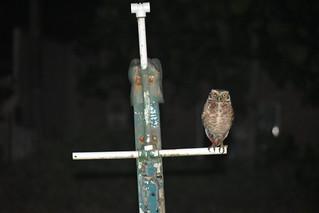 Coruja.  Pássaro elegante e tranquilo. só aparece à noite. também muito fofo. #novomundodigital #barravelha #coruja #pasarinho #bird