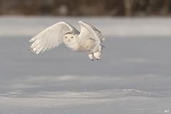 ''Lumière!'' harfang des neiges-Snowy owl (pascaleforest) Tags: oiseau bird animal passion nikon nature owl hibou wild wildlife winter hiver snow neige light lumière faune québec canada