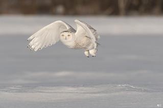 ''Lumière!'' harfang des neiges-Snowy owl