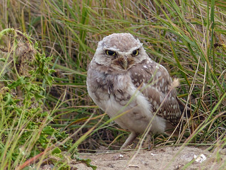 Burrowing Owl in the wild