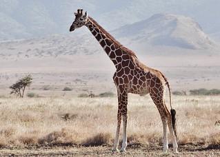 Reticulated Giraffe (M) (Giraffa camelopardalis reticulata)