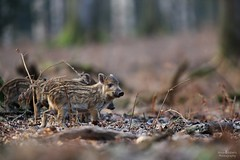 Wild boar piglets (Arron Roberts Photography) Tags: animal mammal cute baby morning sunlight sun winter woodland canon forestofdean forest nature piglet hog pig wildlife boar wild