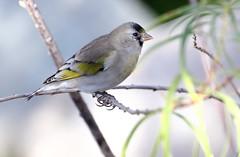 Lawrence's Goldfinch -- Male (Carduelis lawrencei); Catalina, AZ, Catalina Regional Park [Lou Feltz] (deserttoad) Tags: wildlife nature arizona tree desert plant bird wildbird goldfinch