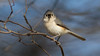 Stare Down with the Titmouse (Ken Krach Photography) Tags: tuftedtitmouse