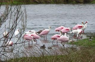 A flock of spoonbills