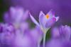 A splash of orange (Karsten Gieselmann) Tags: 40150mmf28 blumen blüten bokeh dof em5markii frühling jahreszeiten krokus lila mzuiko microfourthirds natur olympus orange pflanzen schärfentiefe textur blossom crocus flower kgiesel m43 mft nature purple seasons spring texture violett