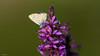 Argus bleu 009 (Hturina) Tags: argusbleu miribeljonage papillon miribel rhônealpes france fr