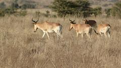 Gang of topis (Nagarjun) Tags: safaritrektourscoke safari nairobinationalpark kenya africa wildlife mosesnjomo brown dawn morning sunrise sunshine