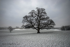 THAT TREE AND THE BEAST FROM THE EAST. (IMAGES OF WALES.... (TIMWOOD)) Tags: lone tree gnarled craggy tythegston porthcawl bridgend beast from the east snow storm wind drifting field countryside wales south that barn