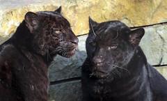 jaguar Artis BB2A6528 (j.a.kok) Tags: jaguar jaguarcub jaguarwelp zwartejaguar blackjaguar artis animal zoogdier zuidamerika southamerica predator kat cat mammal dier pantheraonca