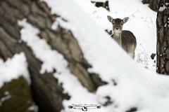Gamo europeo - Dama dama - Fallow deer. (Fotografias Unai Larraya) Tags: animales asturias fauna nieve invierno arboles bosque ngc naturaleza gamoeuropeo