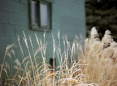 (toulouse goose) Tags: film kodak portra 800 mamiya645 e 120 sekor 150mm35n mediumformat c41 homedeveloped epson v500 winter long grass waterloopark