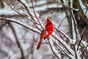 Mr Red (langdon10) Tags: bird canada canon70d cardinal novascotia cold outdoors snow winter