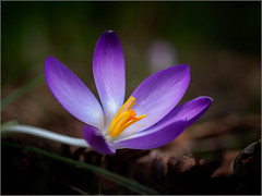 University of Leicester Botanic Garden (Phil McIver) Tags: oadby crocus leicestershire