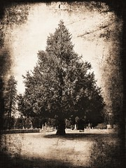 out of the ashes (giggie larue) Tags: tree evergreen graveyard sepia