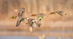 Green-winged Teal (tresed47) Tags: 2018 201802feb 20180228bombayhookbirds birds bombayhook canon7d content delaware ducks february folder greenwingedteal peterscamera petersphotos places season takenby teal us winter