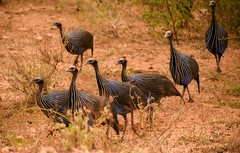 Vulturine Guinea Fowl (Rod Waddington) Tags: africa african afrique afrika äthiopien ethiopia ethiopian etiopia ethiopie etiopian vulterine guinea fowl omovalley omo outdoor landscape birds group outdoors wild animal wildlife nature endemic