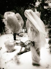 Bridal Shroud (Feldore) Tags: belfast ghost ghostly shroud bridal veil haunted spooky ethereal northern ireland irish sepia botanic gardens strange plastic covering feldore mchugh em1 olympus 1240mm