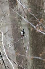 Pic épeiche (Dendrocopos major) (kingfisher001) Tags: piciformes tronc arbre forêt oiseaux pic épeiche dendrocoposmajor dendrocopos picidés meudon greatspottedwoodpecker