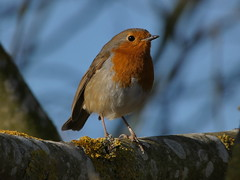 Robin (Deanne Wildsmith) Tags: earthnaturelife robin staffordshire croxalllakes