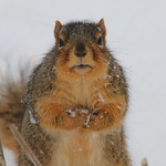 Squirrels On a Snowy Day in Ann Arbor at the University of Michigan (March 7th, 2018) thumbnail