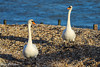 A Pair of Swans Hill Head Beach (Meon Valley Photos.) Tags: a pair swans hill head beach ngc
