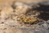 Tetrix depressa (Jérémy Thomas Photo) Tags: criquet grasshopper orthoptera orthoptère insecte insect nature life rock carrière