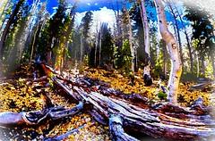 Impression of Deadwood (johnsinclair8888) Tags: sliderssunday lasvegas mtcharleston johndavis nikon 15mm sigma art trees fall mountains collaboration impressionism