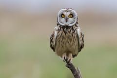 Short Eared Owl March 2018 (jgsnow) Tags: bird owl shortearedowl ngc npc naturethroughthelens