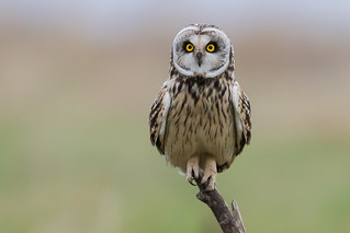Short Eared Owl March 2018