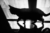 Tightrope 190.365 (ewitsoe) Tags: cat feline shadow walking monochrome blackandwhite home sun sunilight window canon warsaw kitten pet cats floor shadows canoneos6dii 50mm urban bnw