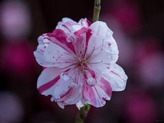Peppermint Peach Blossom - The Disco Tech (Phet Live) Tags: panasonic dmcgx8 olympus m60mm f28 phet live peach blossoms peppermint