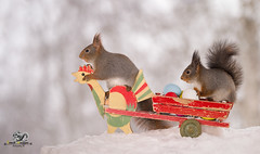 red squirrels in snow on a wagon with eggs (Geert Weggen) Tags: car humor animal cute logo snow backlit bright closeup food horizontal mammal nature passion photography red riding rodent squirrel sun sweden travel vacations winter trafficlight square cycle bike easter egg holiday chicken wagon bispgården jämtland geertweggen geert swedish ragunda