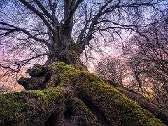 Old beech (Bilderschmied-Danz) Tags: datteln vinnum deutschland germany lippe buche beech tree baum old alt altbaum wald forrest woodland moos moss bilderschmied