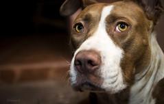 Always in my heart (Donovan Ramirez) Tags: dog friend friendship partner pitbull eyes stare lovely cute pet animals