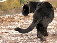jaguar artis BB2A7903 (j.a.kok) Tags: jaguar jaguarcub blackjaguar jaguarwelp zwartejaguar artis pantheraonca animal kat cat mammal zoogdier dier zuidamerika southamerica