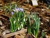 """Frühlingsboten / Spring messengers / Messager de Printemps (warata) Tags: 2018 deutschland germany süddeutschland southerngermany schwaben swabia oberschwaben """"upper swabiaschwäbisches oberland """"badenwürttemberg"""" pflanze blüte flowers schneeglöckchen galanthus heilpflanze """"medicinal plant"""" """"plantes médicinales"""" krokusse crocus"""