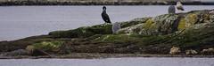 Cormorant and herons (evakongshavn) Tags: 7dwf fauna birds cormorant heron bird animal sea ocean water island