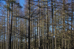 Lovely straight larches (prajpix) Tags: larch wood woods forest woodland plantation trees forestry invernessire highlands scotland winter ice snow