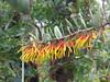 Cerrado´s flower (✿ Graça Vargas ✿) Tags: flower graçavargas ©2018graçavargasallrightsreserved flordocerrado cerrado´sflower wild 21906180318
