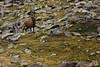 Taurus (Andrea Moraschetti Photography) Tags: ngc nature natura park stelvio animal animals cervo deer cervus elaphus reale rosso vallecamonica lombardia brescia italy italian wilde wild wildlife fauna alpine alps