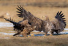 Dance with me (eric-d at gmx.net) Tags: seaeagle seeadler adler eagle whitetailedeagle eric ericdgmxnet ngc naturepicturede wildlife birdofprey vogel birds haliaeetusalbicilla