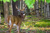 King of the forest (RoosGoes) Tags: animal deer forest wood stag grass mammal tree guelph wild