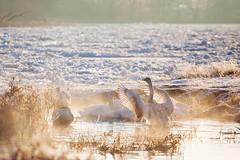 Morning warm-up (xkolba) Tags: waterbird rippled floatingonwater water riverbank watersurface swan ice floe frozen river winter sunrise bird bug podlasie poland warmlight