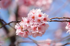 IMG_3894M Cherry blossom (陳炯垣) Tags: nature blossom cherry spring さくら
