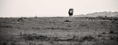 Typical Mara (Thomas Retterath) Tags: adventure wildlife abenteuer safari nature natur kenya africa afrika masaimara thomasretterath mähne pantheraleo lion bigfive löwe felidae raubtiere predator carnivore säugetier mammals animals tiere mane